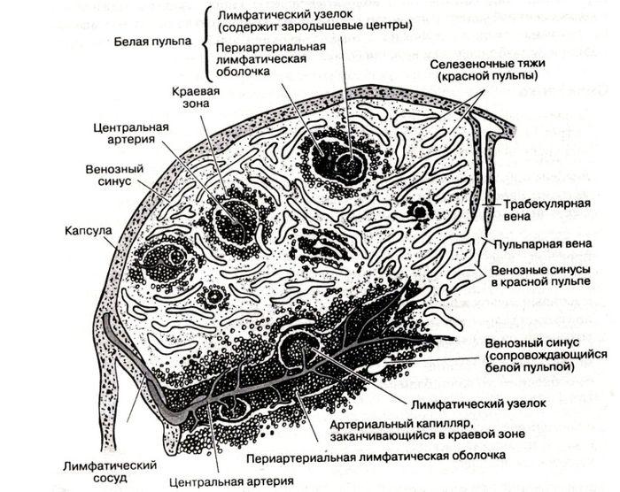 cd4 клетки